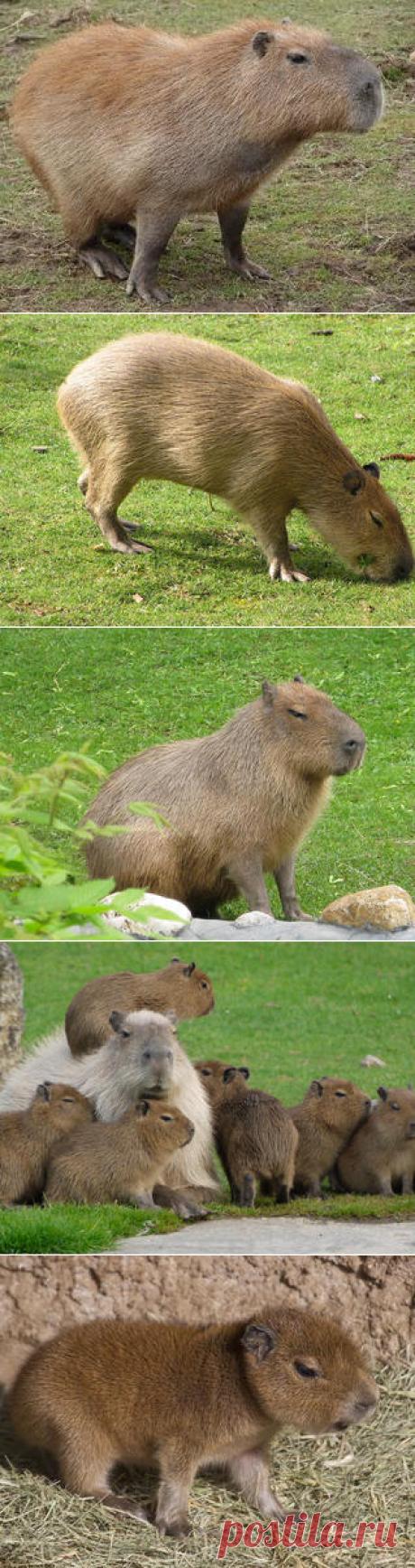 Смотреть изображения капибар | Зооляндия