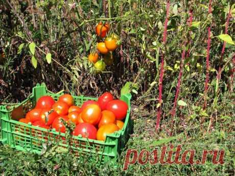 10 самых важных дел в огороде в августе