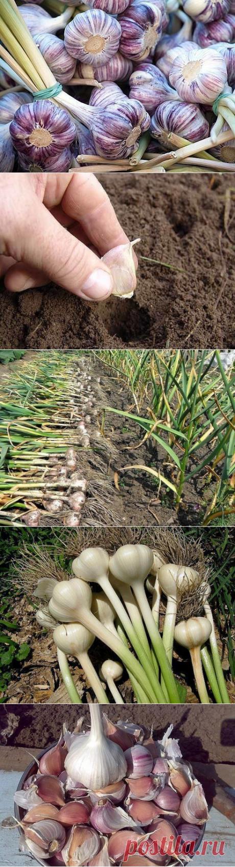 Что нужно для полноценного здорового урожая чеснока? | 6 соток