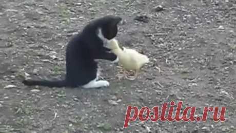 Бой котенка и индоутки!