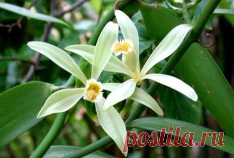 fakta about vanilla — the Interesting facts