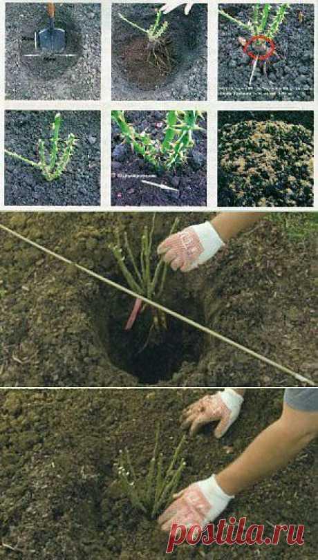 Посадка розы с открытой корневой системой | Дача - впрок