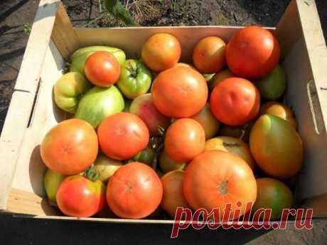 «Деревенские» помидоры с любовью | БЛОГ ДАЧНИЦЫ | Яндекс Дзен