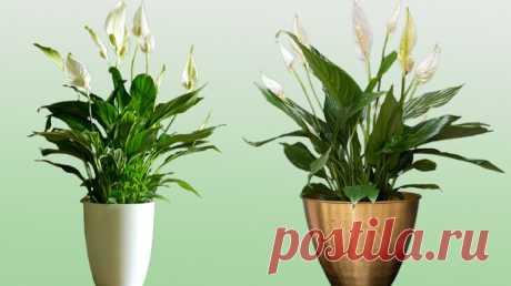 Неприхотливый спатифиллум - а так ли уж он неприхотлив? Разбираемся вместе | Цветы у Натали | Яндекс Дзен