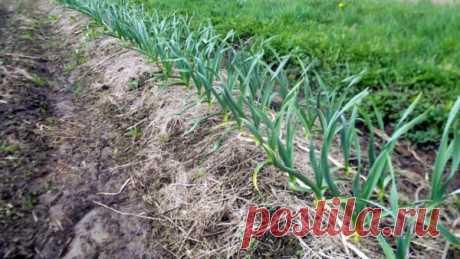 Подкормка озимого чеснока в июне: что использовать и когда Selo.Guru — интернет портал о сельском хозяйстве