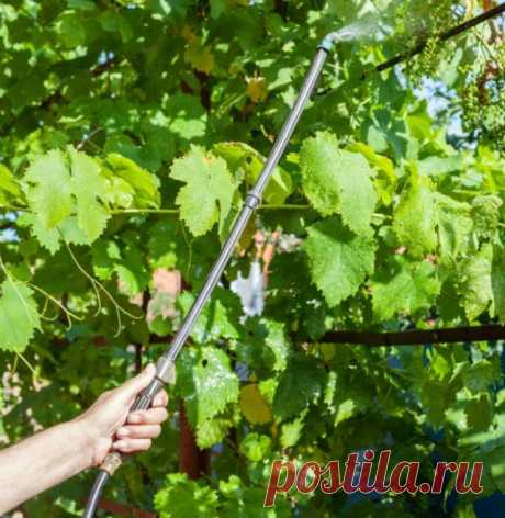 Preventive processings of grapes – when? how? than? | Grapes (Огород.ru)