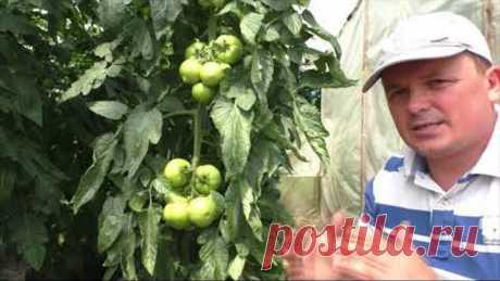 Формировка томатов- что прищипнуть, а что оставить? Наглядно и обоснованно.