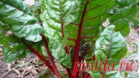Весенний посев свеклы: как не совершить ошибок?   Любители ранних овощей выращивают свеклу через рассаду или сеют ее в грунт под зиму. А те, кто готов ждать молодые плоды до осени, предпочитают весенний посев на грядку. О нем мы и расскажем более п…
