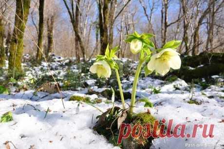 Морозник - цветок зимы Морозник — удивительной красоты растение, которое было популярно еще в  средневековье: считалось, что морозник защищает от колдовства, сглаза и  злых духов, именно поэтому его сажали неподалеку от входа в двор и дом. А  знаете ли вы, что морозник еще называют «рождественской...