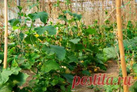 Чем кормить огурцы в начале лета? Органические и минеральные подкормки. Фото — Ботаничка.ru