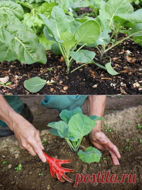 Почва для капусты - как выбирать место для посадки капусты