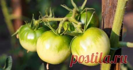 Что можно приготовить из зеленых помидоров – рецепты закаток и не только Зеленые помидоры – это не потерянный урожай, а хороший продукт для приготовления заготовок на зиму и вкуснейших необычных блюд к обеду. Посмотрите нашу подборку и попробуйте приготовить что-нибудь оригинальное!
