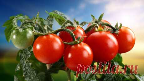 """Kefir – the defender of tomatoes from a phytophthora\"""" the Female World"""