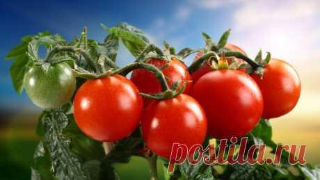 Кефир – защитник томатов от фитофторы » Женский Мир
