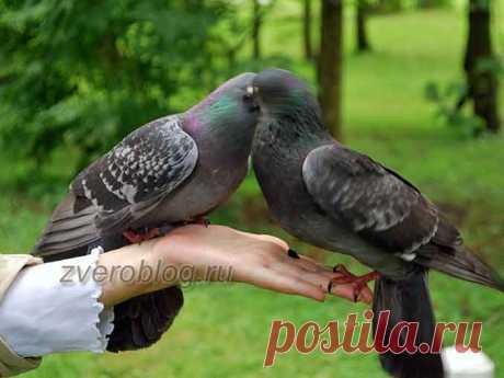 Сизый голубь в домашних условиях: как мы вылечили раненую птицу!