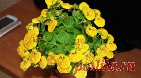 Комнатные цветы с желтыми цветами (28 фото): виды домашних растений с желтыми цветами-свечками и других форм