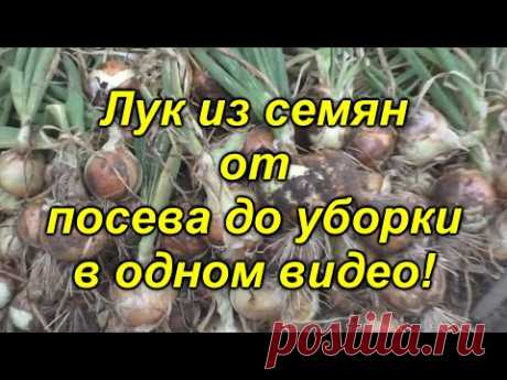 Лук репчатый из семян - в одном видео от посева до уборки! Посмотрите видео и вырастите лук сами!