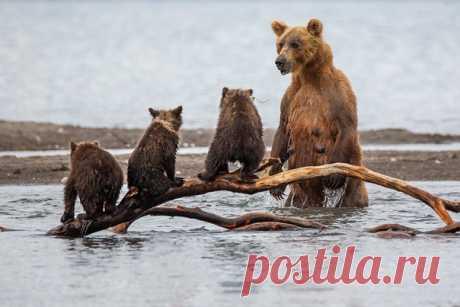 «Урок рыбалки» Камчатских медведей запечатлел Денис Будьков: nat-geo.ru/community/user/1437
