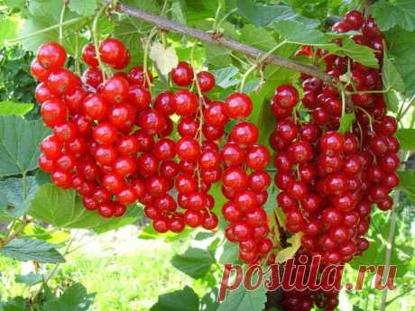 Красная смородина: Все секреты выращивания.