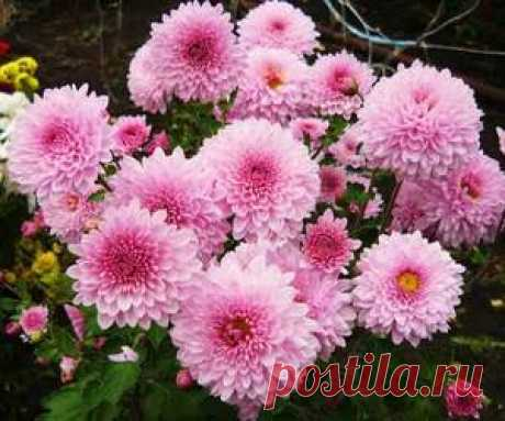 Chrysanthemums are long-term garden: leaving and landing, cultivation of bush and spherical flowers in an open ground