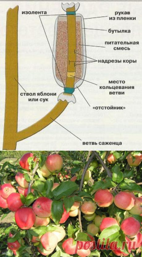 Как вырастить саженец яблони воздушным отводком — 6 соток