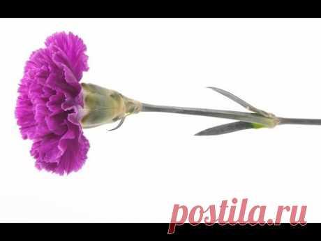 Как сделать цветы Гвоздика из гофрированной бумаги - Craft Tutorial.Поделки с детьми из бумаги 9 Мая