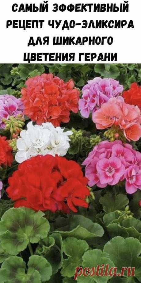 Самый эффективный рецепт чудо-эликсира для шикарного цветения герани - Советы для женщин