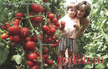 Порция советов для хорошего урожая томатов