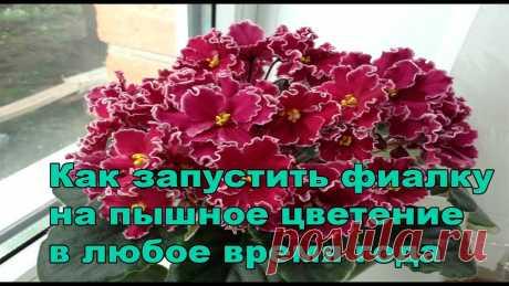 Пышное цветение фиалок.Как запустить фиалку на пышное цветение Я в Одноклассники - https://www.ok.ru/profile/545435328817 Я в Instagram - https://www.instagram.com/masterskaya_fialki/ Группа Вконтакте - https://vk.com/ma...