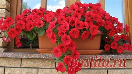 Выращивание петунии: посадка, уход, сорта