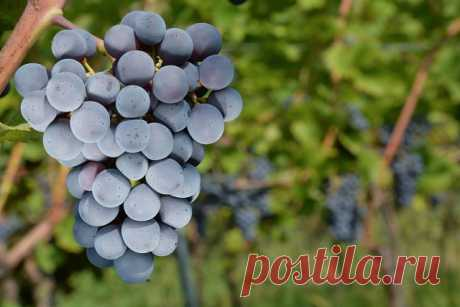 3 способа ускорить плодоношение винограда.  Можно ли получить урожай винограда на второй год после посадки? Опытные виноградари ответят однозначно – можно.    Одним из таких способов считается ранняя посадка винограда в прогретые посадочные ямы. Для этого рано весной копают посадочную яму и накрывают ее стеклом или пленкой. Через одну-две недели можно сажать виноградные кусты.   Имейте в виду, что укрытие нельзя снимать после посадки. Его надо оставить до тех пор, пока по...
