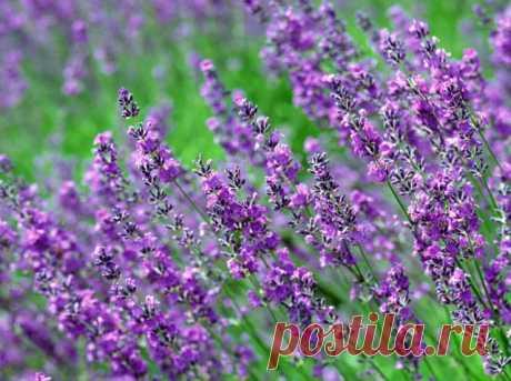 5 ароматных растений, избавляющих от паразитов — Полезные советы