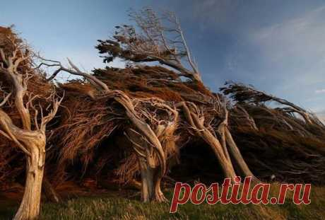 Кривые деревья на склоне Slope Point, Новая Зеландия    Эти необычные деревья растут на склоне Slope Point (Наклонный мыс) на Южном острове в Новой Зеландии. В этом месте с побережья дуют сильнейшие ветра и деревьям пришлось адаптироваться и расти в направлении ветра.  Во время посещения мыса Slope Point в Новой Зеландии чувствуешь, что время как будто застыло прямо в разгар сильнейшего урагана.