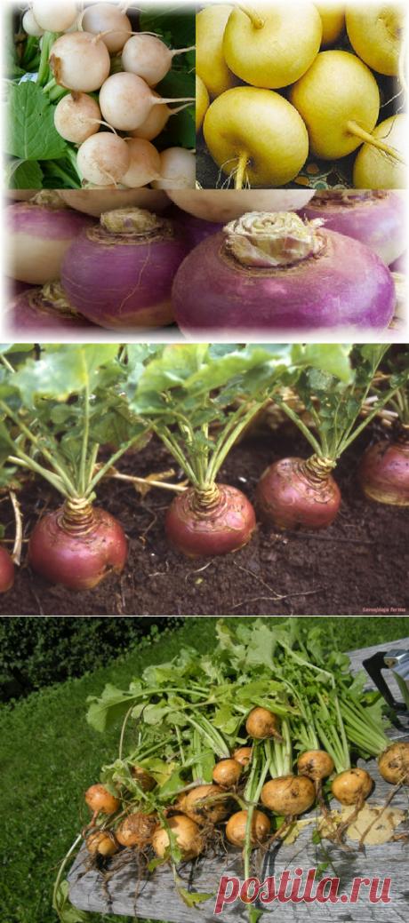 Репа - выбор сорта и особенности выращивания | Цветовод-Консалтинг