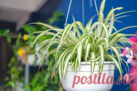 Самые полезные комнатные растения, или Целебный воздух нашего дома. Фото — Ботаничка.ru