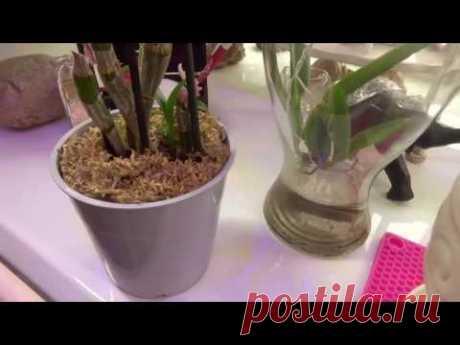 Часть 3. Ошибки при выращивании орхидей в воде и болезни,как следствие.