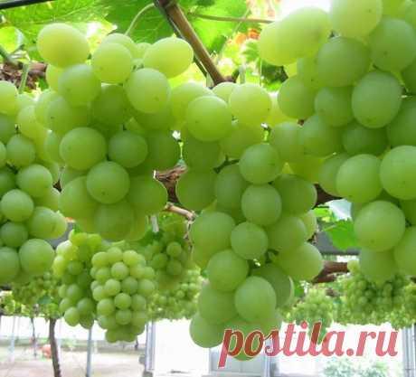 Как получить большой и качественный урожай винограда