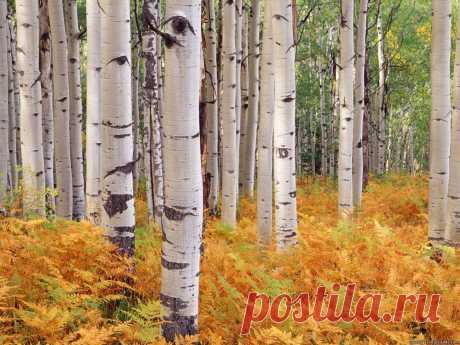 Береза осенью фото