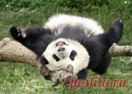 Эти забавные панды