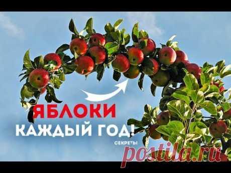 Как заставить яблоню плодоносить каждый год? Секреты опытного садовода!