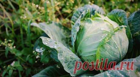 Почему все соседи завидуют моей капусте: как я добиваюсь отличного урожая   Блог Палыча   Яндекс Дзен