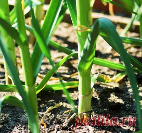 Плохо растет чеснок? Полейте его этим раствором и через 3 дня он выростит на 10 см и более | Дневник деревенского садовода | Яндекс Дзен