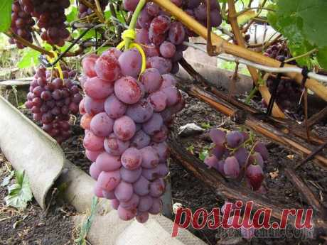 Чем и когда подкормить виноград, чтобы собрать хороший урожай Чтобы вырастить в средней полосе капризную южную культуру виноград нужно регулярно удобрять, причем делать это с умом. Регулярное внесение одной лишь органики не спасет лозу, для обильного плодоношени...