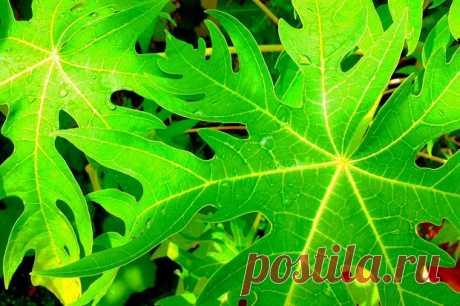 Удивительные целительная сила папайи Листья - I Love Natural Healing