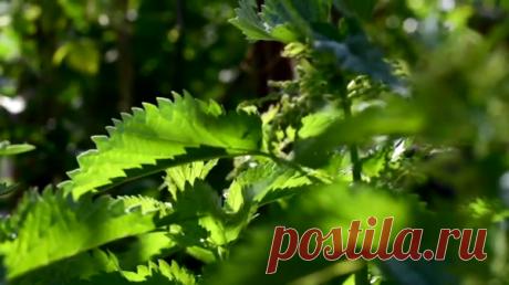 Персик королевский растет и кустарник крапивы HD | Aziz Red | Яндекс Дзен