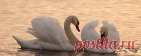 Лебедь царственная птица олицетворяющая грацию и верность. Лебедь. Величавые птицы необыкновенной красоты, внушающие искреннее восхищение и символизирующие чистоту, благородство и возрождение.