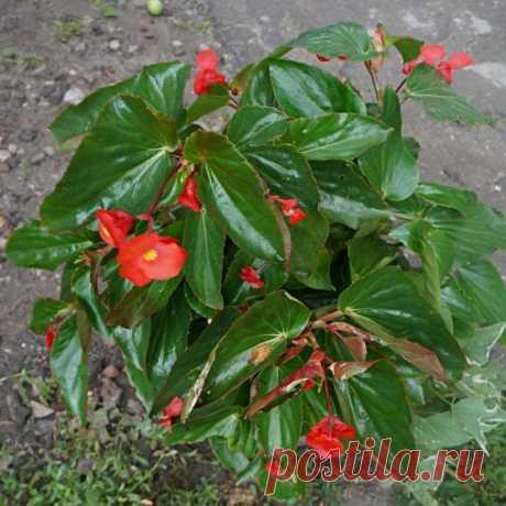 Бегония «Драгон Винг» (begonia x hybrida 'Dragon Wings'), расцветка 'Red'