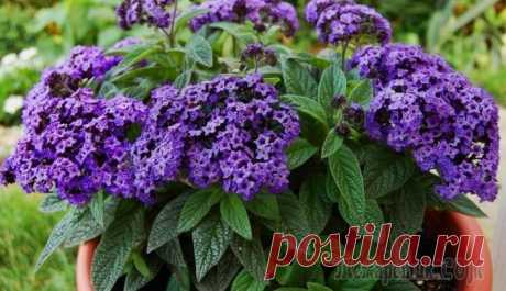 Гелиотроп – цветок с ароматом ванили