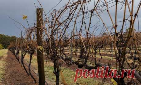 Que cubrir la uva para el invierno – los máses y el menos de todos los modos del amparo