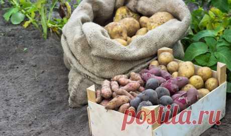 Лучшие сорта картофеля для различных регионов. Описание, характеристики, фото - Ботаничка.ru